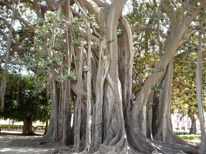 Ficus macrophylla, ein australischer Baumriese aus der Familie der Maulbeergewächse, auch großblättrige Feige genannt. Noch Fragen?