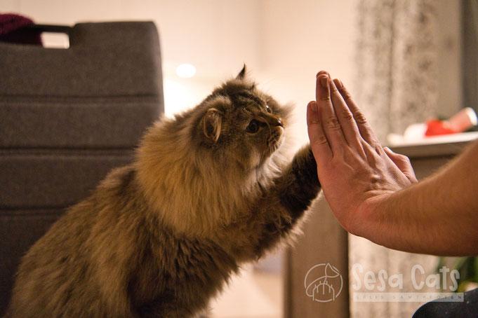 #Britisch Langhaar, #highlander, #black silver tipped, #ns11, #Katzenzucht, #Katze, #cattery, #Katzenzüchter, #Fina und Linus, #ilovecats, #cats love, #klickertraining,