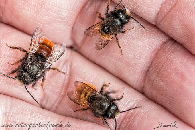 Gehörnte Mauerbiene Osmia cornuta Männchen solitary bee wild bee insect nesting aid insect hotel hornfaced mason bee  male hand