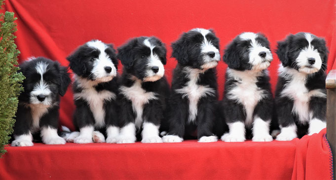 Sparkling Miracle  Beardies, Bearded Collie Welpen. Bearded Collie, Bearded Collie Züchter