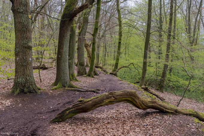 Buchen und Eichen wachsen am hohen Ufer - an vielen Stellen liegt Totholz herum.