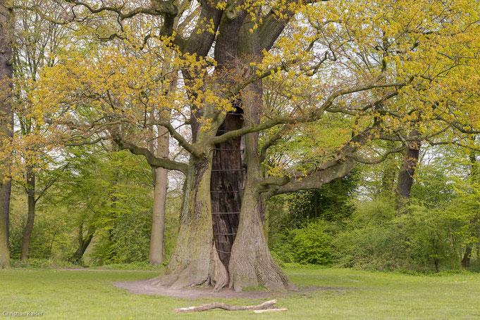 Die älteste Eiche längst hohl, sie treibt jedes Jahr frisch aus, noch sind die Blätter und Blüten orange gefärbt