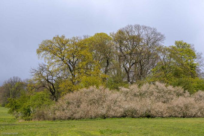 Schlehenhecke vor Baumgruppe