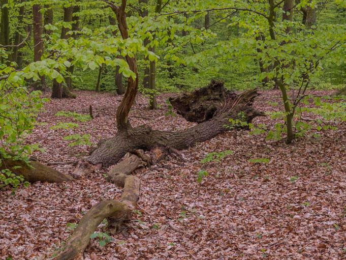 Maiengrün und liegender Baumstamm