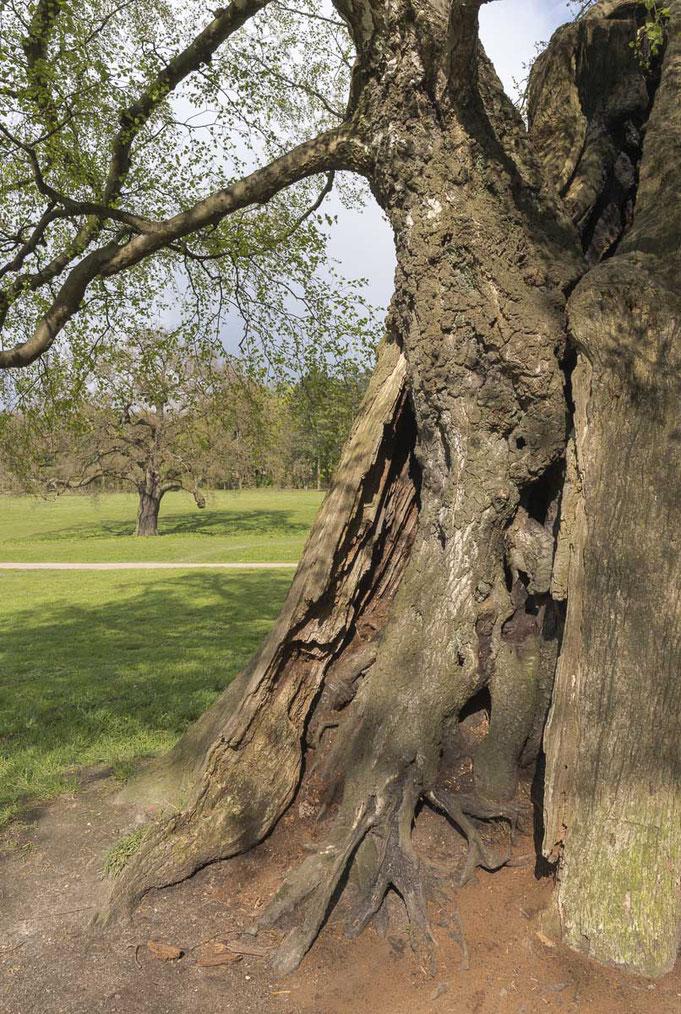 Aus dem hohlen Stamm dieser alten Eiche wächst eine Birke