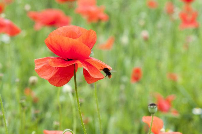 für Bienen und Hummeln sind Wildblumen auf dem Acker  überlebenswichtig