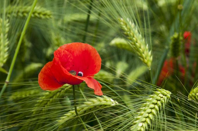 der Klatschmohn ist die Blume des Jahres, denn er ist selten geworden durch Herbizideinsatz