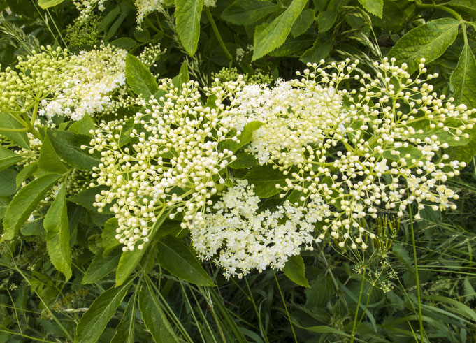 Doldenblütler Holunder hunderte duftender Blüten und Knospen
