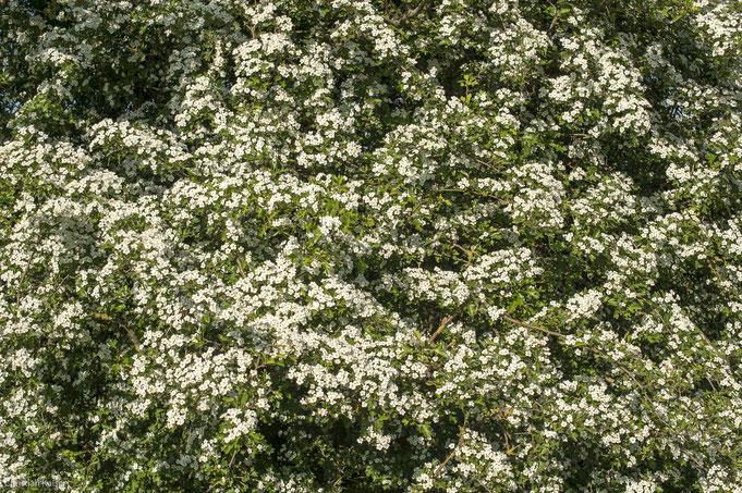 Weissdorn blüht mit hunderten kleiner Blüten immer nur für kurze Zeit im Knick zu sehen