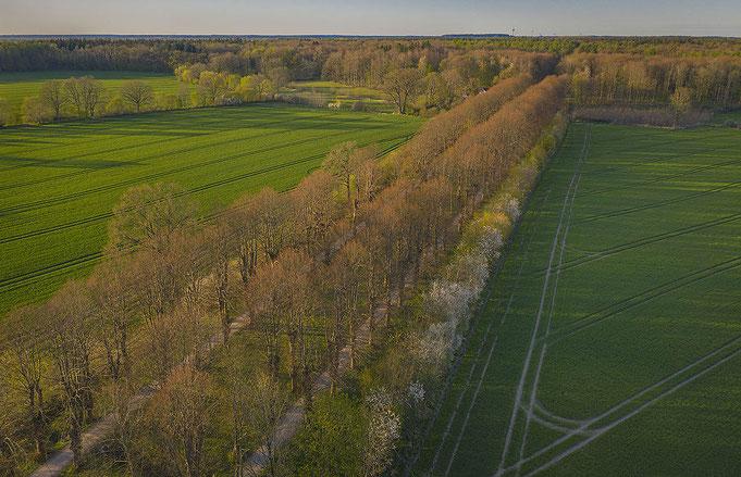 Avenue of Lime trees in Jersbek Parc, Germany