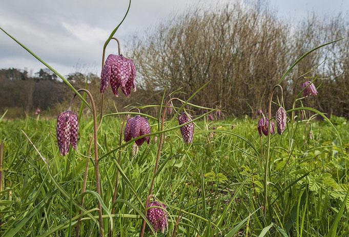 checkered daffodil |at elbe river