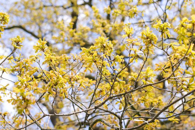 Das frische Laub der Eiche ist im Frühling gelblich wie auch die Blüten. © Kaiser - Jenischpark