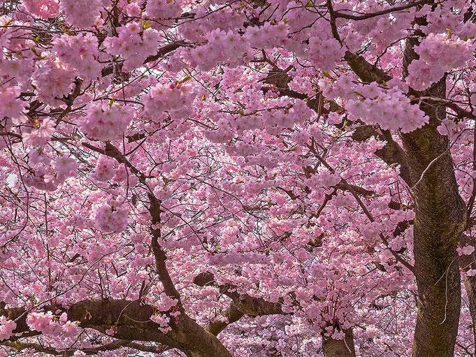 © Christian Kaiser image: Die japanischen Zierkirschen am Elbufer von Teufelsbrück stehen Ende April bis Mitte Mail in voller Blüte