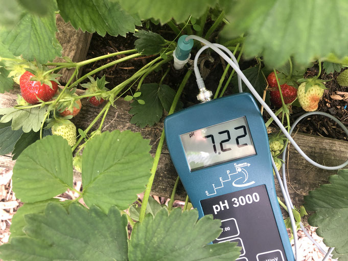 Erdbeeren schätzen Böden mit einem pH-Wert von 5,5 bis 6,5. Geht aber auch so.....