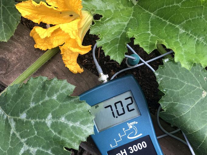 Ein Unterschied fällt aber auch hier auf, denn der ideale Boden-pH-Wert für Zucchini könnte sogar etwas höher als bei Gurken, zwischen 6,5- 7,5 sein. Mal sehen, was wir trotzdem ernten.