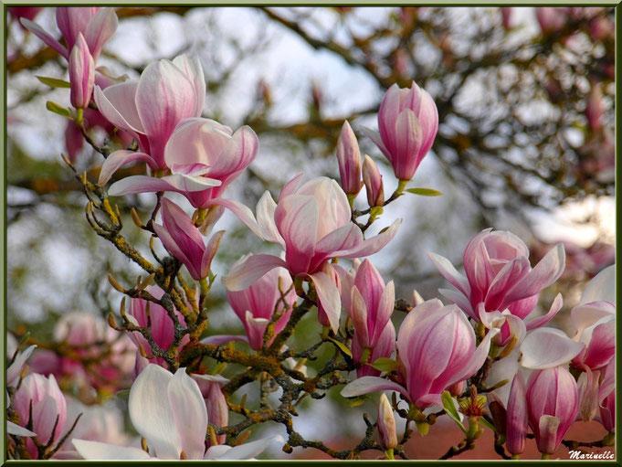 Tulipier en fleurs, au hasard d'une promenade (et non magnolia) car cet arbre est caduque (aucune feuille en hiver)