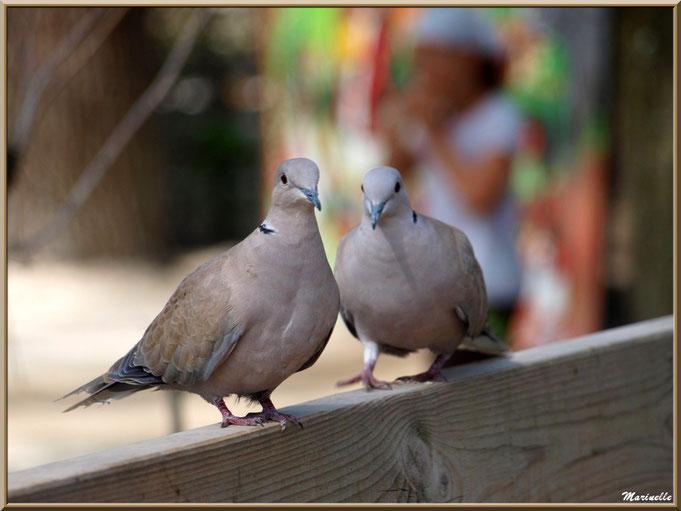 Couple de tourterelles sur une barrière