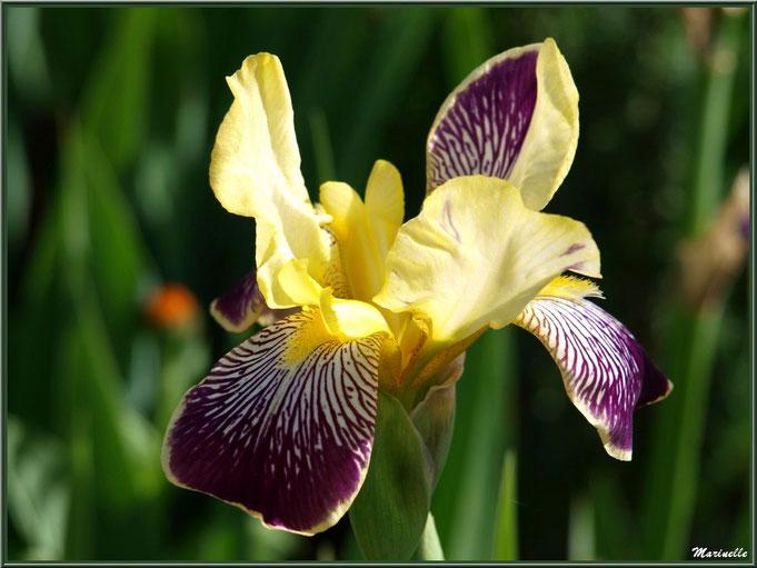 Iris mauve et jaune au jardin