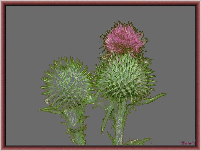 Fleurs de Chardon en bouton