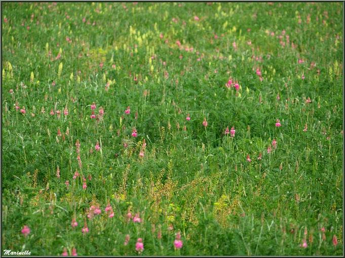 Pré de Sainfoin ou Esparcette ou Sainfoin à feuilles de Vesce ou Sainfoin d'Espagne (en rose, parmi d'autres herbacées), flore Bassin d'Arcachon (33)