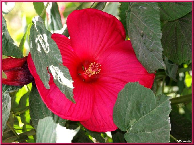 Hibiscus moscheutos rouge (hibiscus géant)