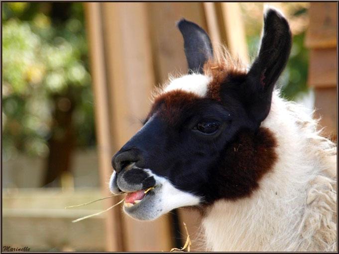"""Lama en pleine séance de chique, """"Mini-ferme La Coccinelle"""" à Gujan-Mestras, Bassin d'Arcachon (33)"""
