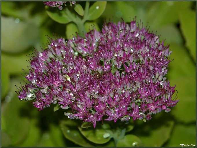 Fleur de Sedum après ondée, au jardin