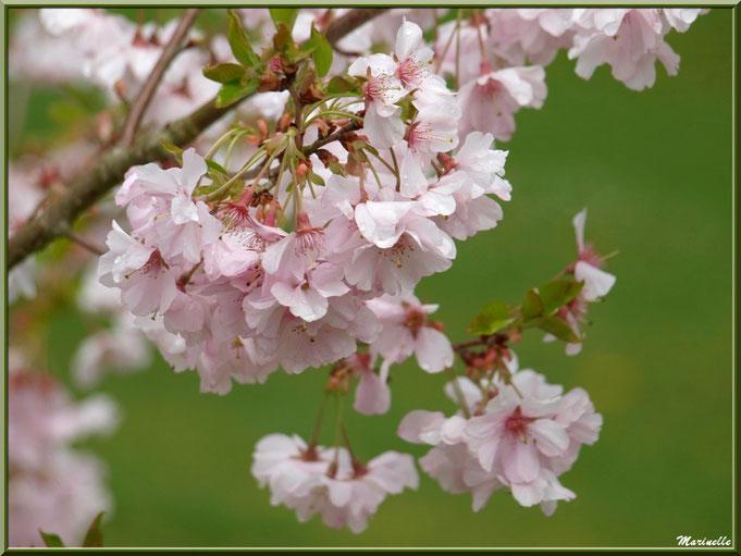 Cerisier du Japon en pleine floraison