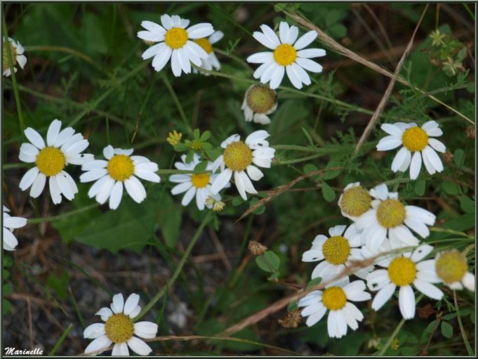 Camomille Sauvage  ou Petite Camomille ou Camomille Allemande ou Matricaire Camomille ou Matricaire Tronquée ou Camomille Vraie, flore Bassin d'Arcachon (33)