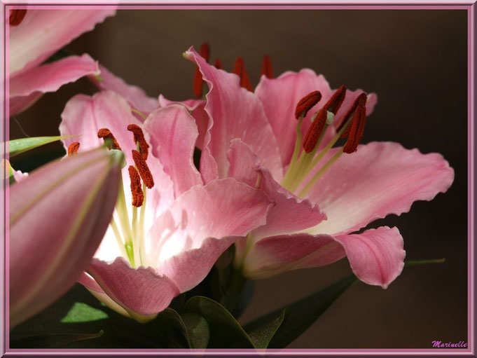 Lys rose pâle