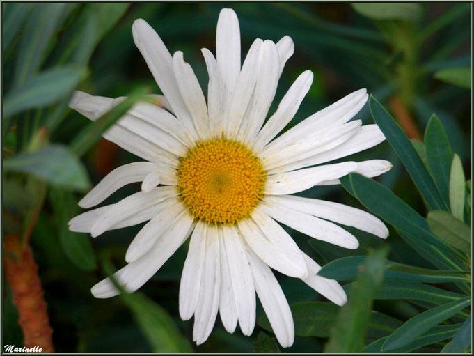 Marguerite nichée au creux des Euphorbes