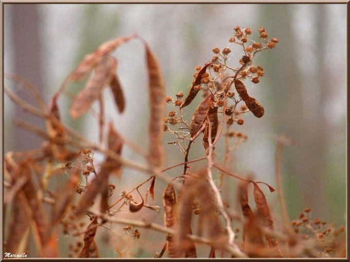 Gousses d'acacias et mûres asséchées dans la brume au Parc de la Chêneraie à Gujan-Mestras, Bassin d'Arcachon (33)
