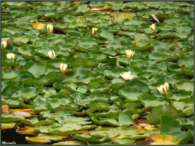 Parterre de Nénuphars jaunes sur un plan d'eau