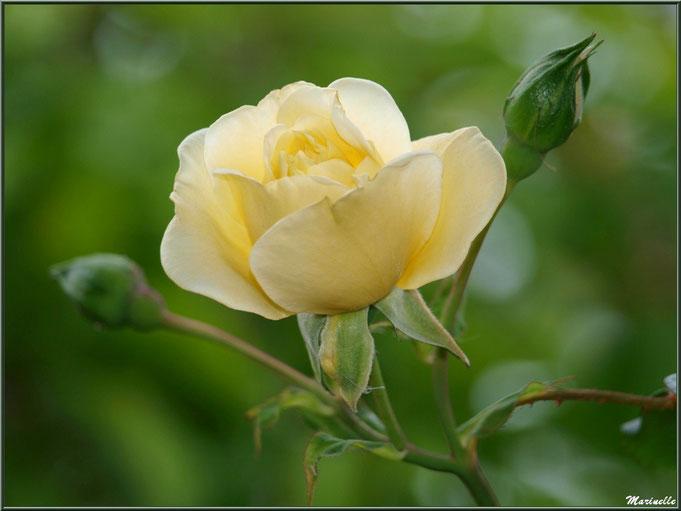 Rose jaune pâle au jardin