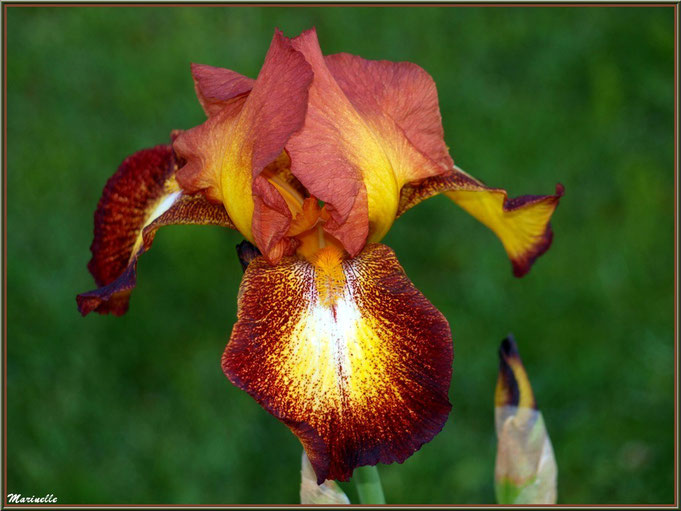 Iris marron et Or