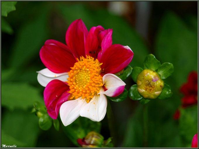 Dahlia rose fuchsia et blanc, au jardin