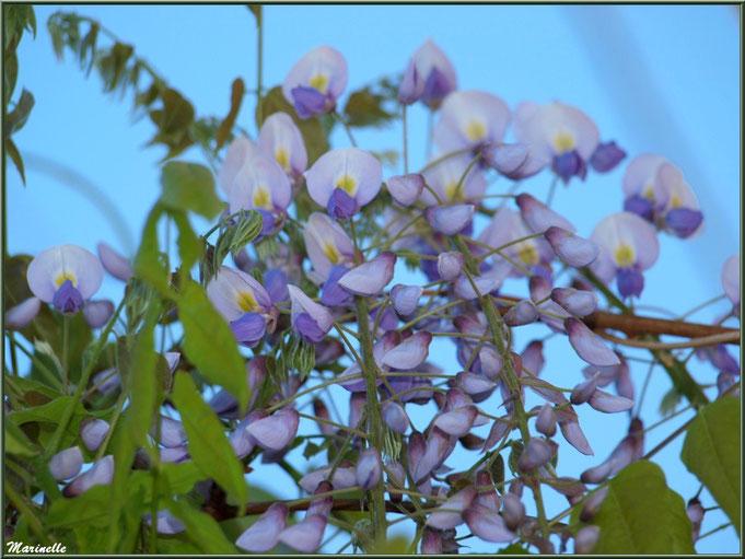 Glycine au jardin