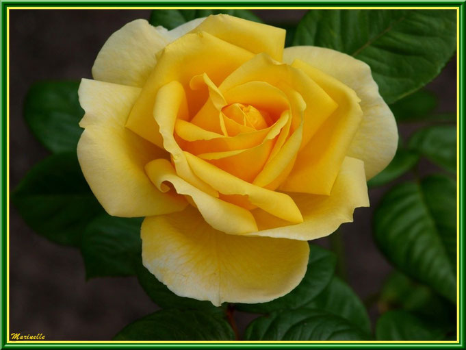 Rose jaune toute en délicatesse, au jardin