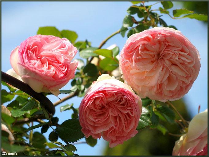 """Roses """"Pierre de Ronsard"""" au jardin"""
