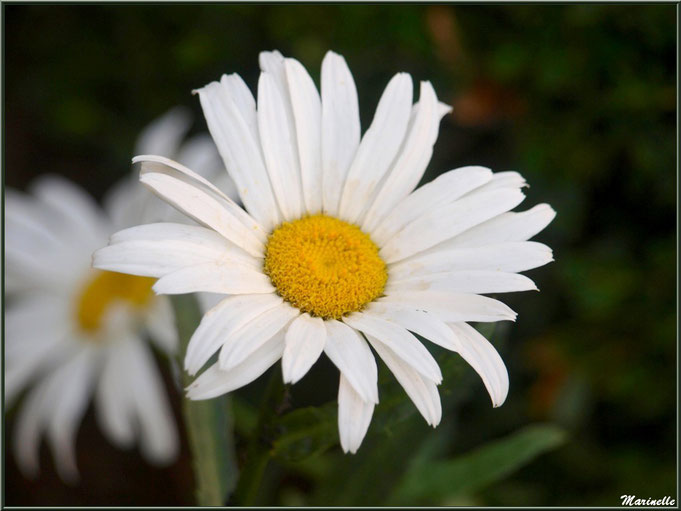 Marguerites au jardin