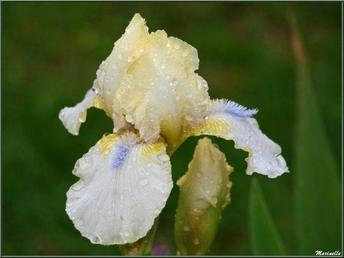 Iris jaune pâle à pistil bleu et son bouton après ondée, au jardin