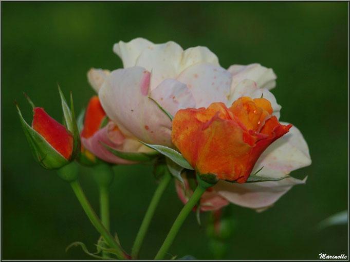 Bouquet de roses au jardin