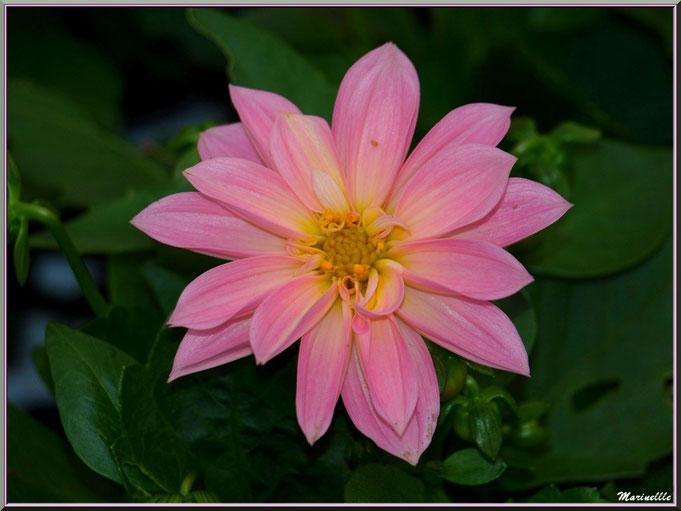 Dahlia rose au jardin
