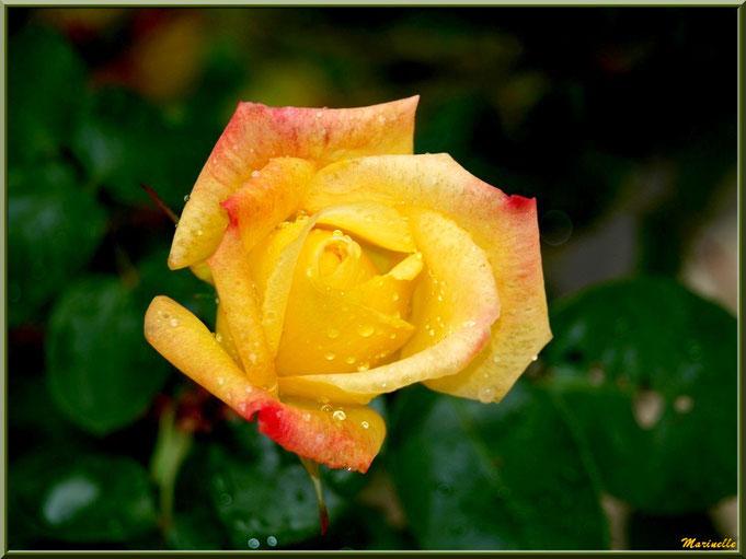 Rose jaune et orange après ondée, au jardin