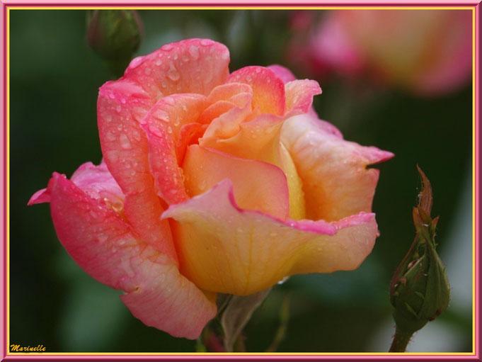 Rose jaune et saumon après ondée, au jardin