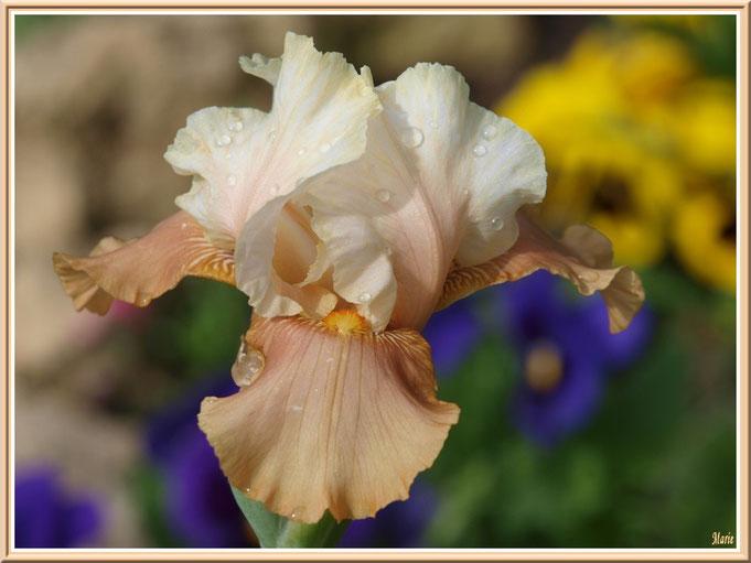 iris beige et or après ondée