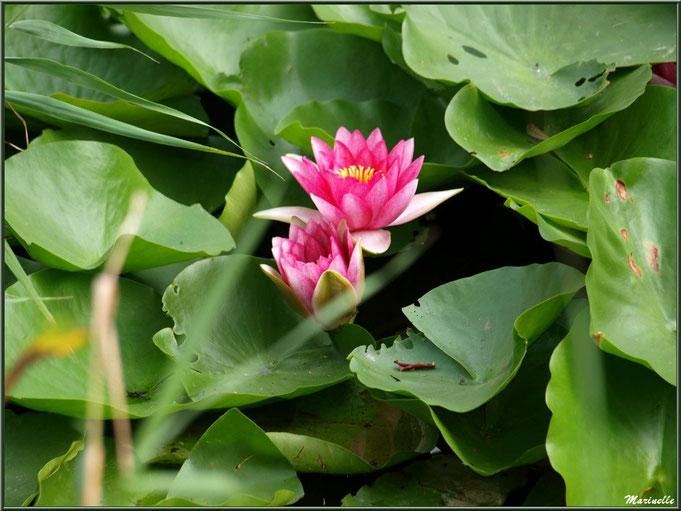 Duo de Nénuphars roses sur un plan d'eau