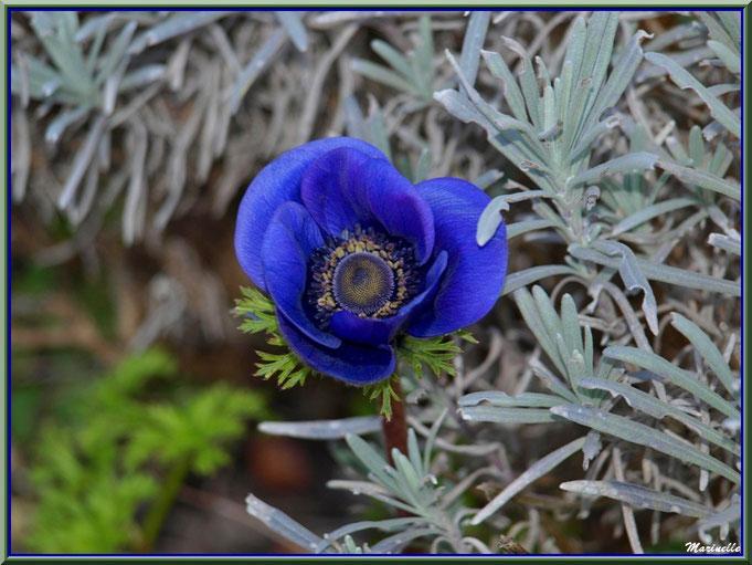 Anémone bleue au jardin