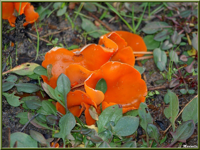 Champignons appelés Pézizes Orangées telles des fleurs dans un écrin de verdure, forêt Bassin d'Arcachon (33)