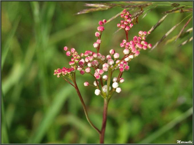 Filipendule commune, fleurs en boutons, flore Bassin d'Arcachon (33)